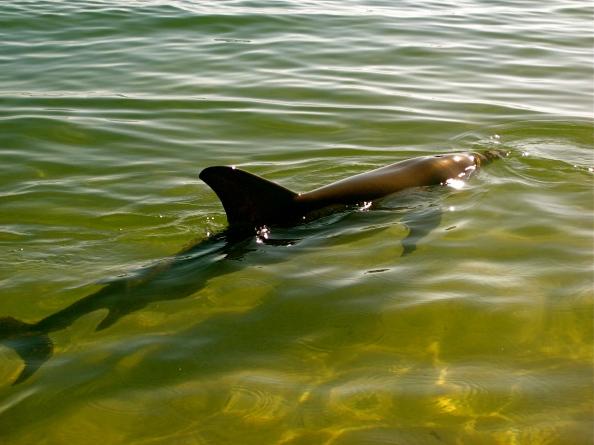 Wild dolphin at Monkey Mia
